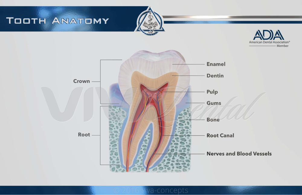 Tooth Anatomy — Viva Concepts