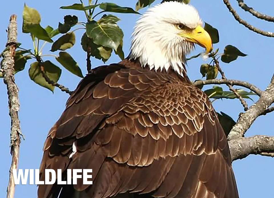 wildlifeeagle-4f38c3e9.jpg