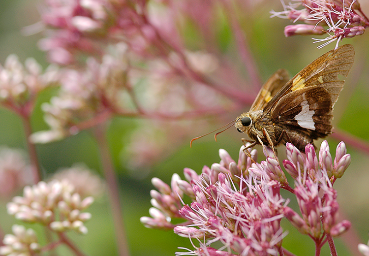 silver-spotted-skipper-on-Eup-fis-H0005D-6x4B.png