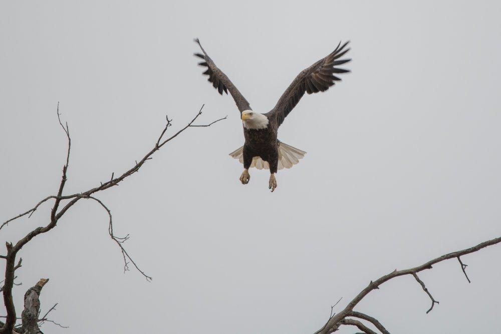animal-bald-eagle-bird-of-prey-762491.jpg