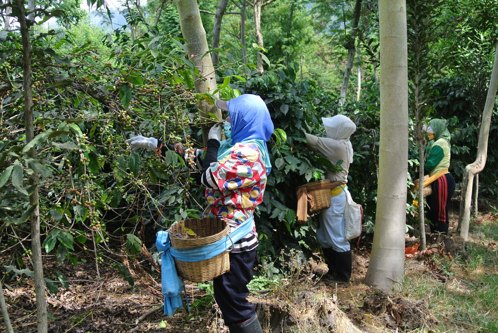 Workers picking fresh coffee cherries.