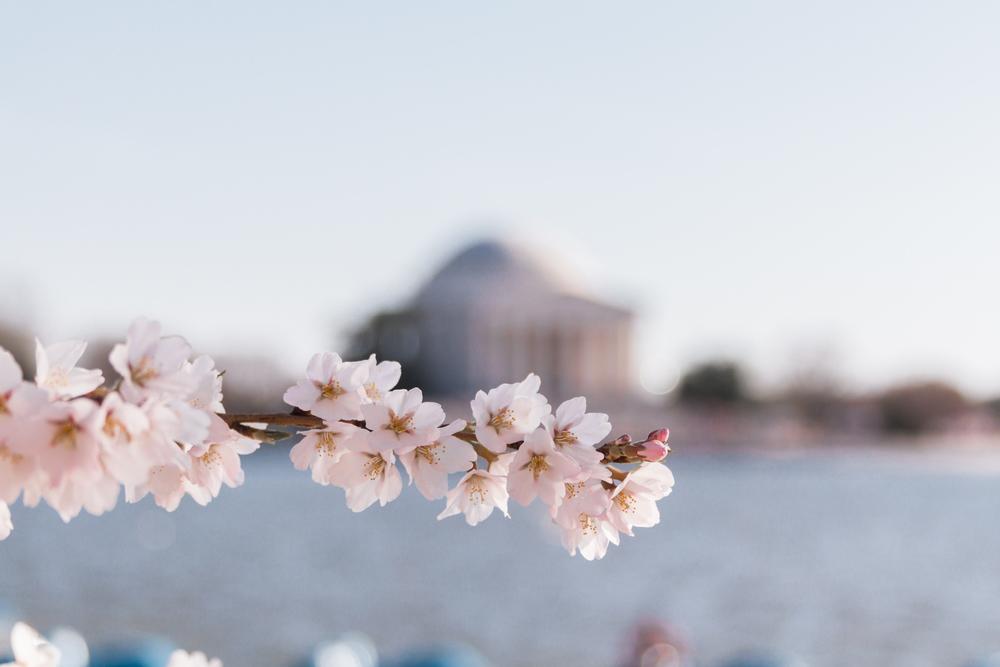 DCCherryBlossoms-25.jpg