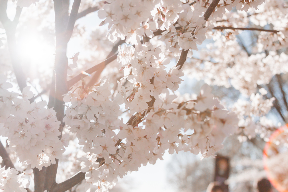 Sunrise Cherry Blossom Engagement Photography Andrea Rodway Photography