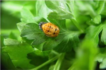 Ladybug nymph