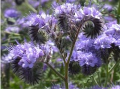 Phacelia - Bee's Friend
