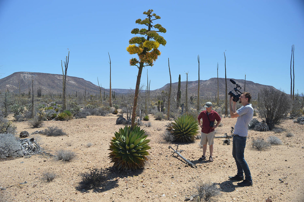Goldman's Agave ( Agave shawii ssp. goldmaniana)  in bloom pictured here with Greg Meyer, scientific director of  The Devil's Road  (left) and JT Bruce, director of  The Devil's Road  (right).