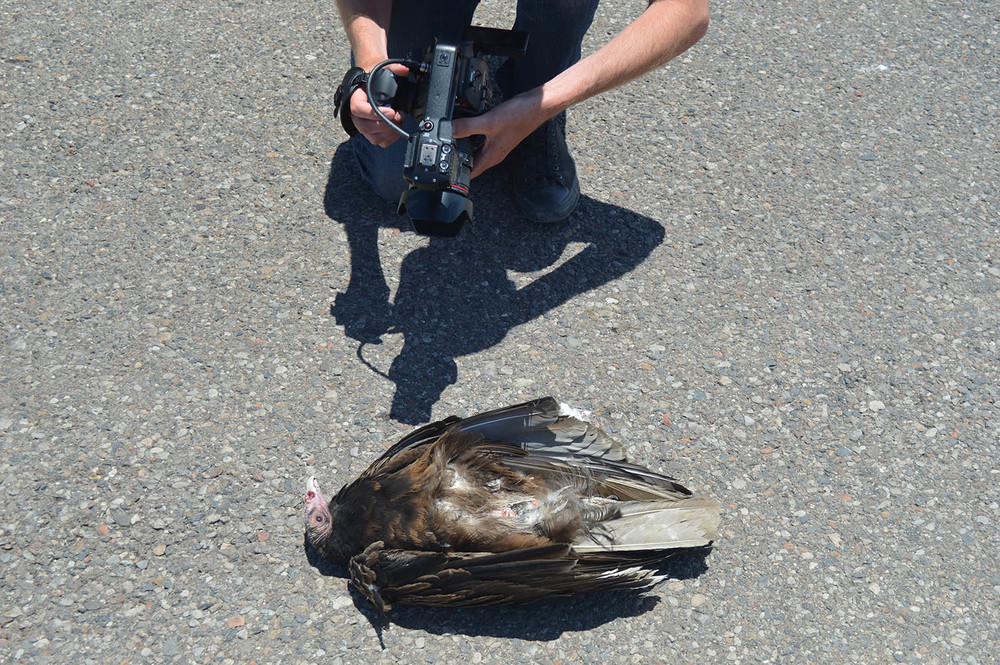 Turkey vulture in road. Most likely stunned or paralyzed from being hit by a passing motorist.