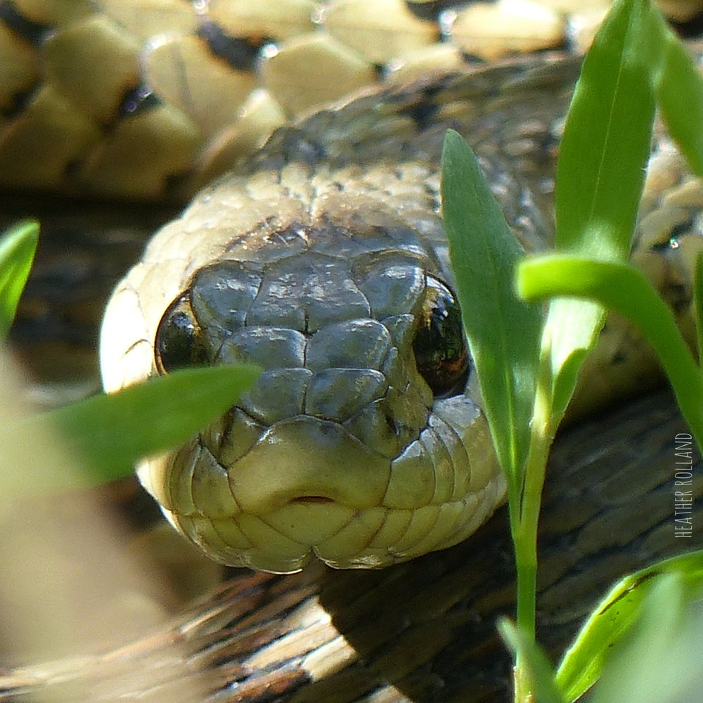 Garter snake. Photographed on Bramley Mountain in Delaware County, NY.