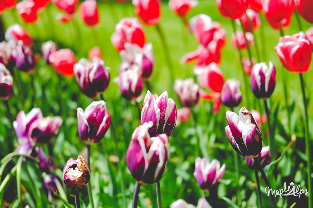 A Trip Through Some Tulips // Holland, Michigan | www.maplealps.com