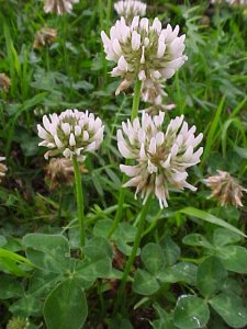 White Clover - Annual