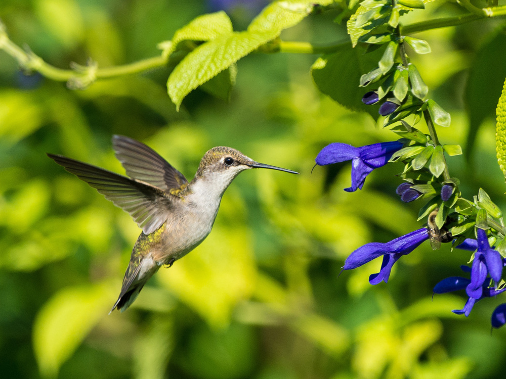 A Nose for Nectar.  Hummingbirds love the sweet nectar of the Salvia flower. also known as Meadow Sage.   Photo by M.Stovall