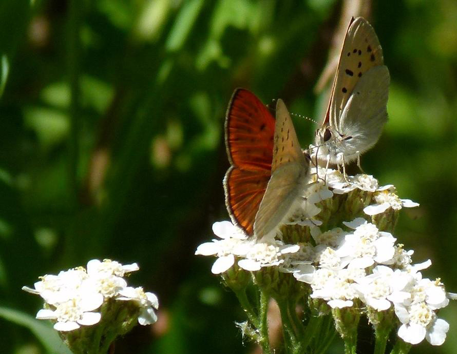 Table for Two.  These Ruddy Copper butterflies are dining on a pad cluster of yarrow which is also deer-resistant.