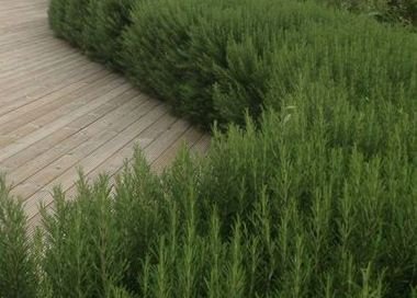 Rosemary                                            makes great hedging