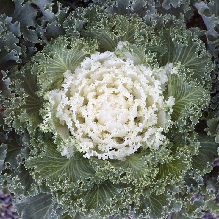 Emperor White Kale