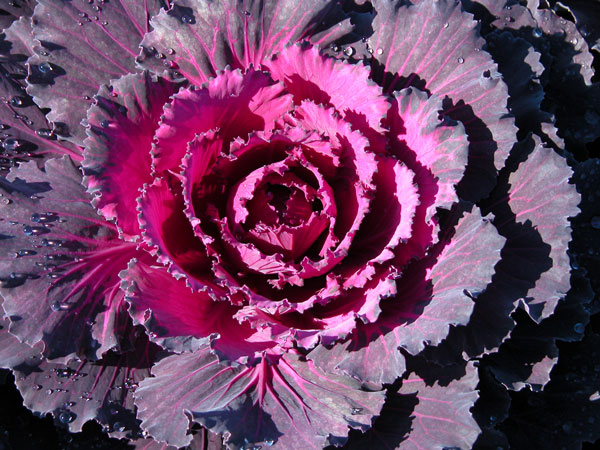 Dynasty Red Cabbage