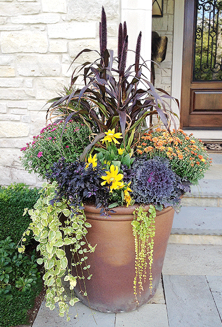 Purple Majesty Millet in a Planter