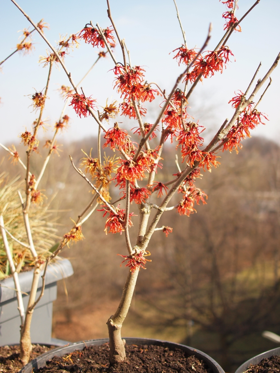 Hamamelis_x_intermedia_'Rubin'_right'_'Jelena'_left.JPG