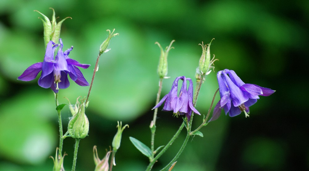 Aquilegia vulgaris (Common Columbine)