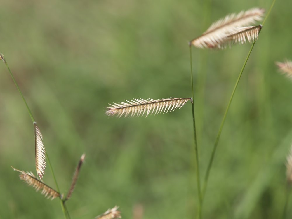 Bouteloua gracilis  ( Blue Grama Grass)