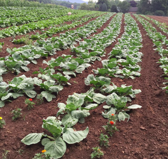 2016 cabbage row.png