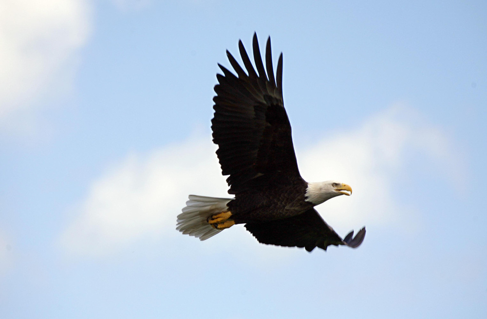 Bald eagles can be spotted flying around the island.