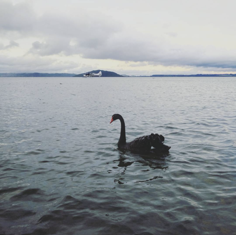 Black swans around the lake