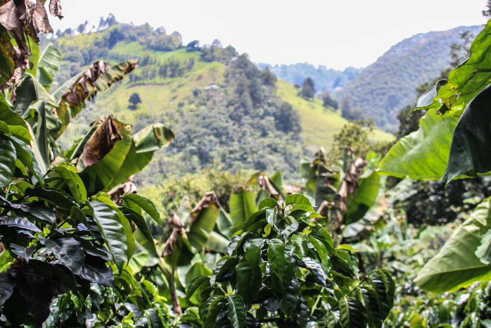 The leaves of coffee plants with the sweeping hills beyond