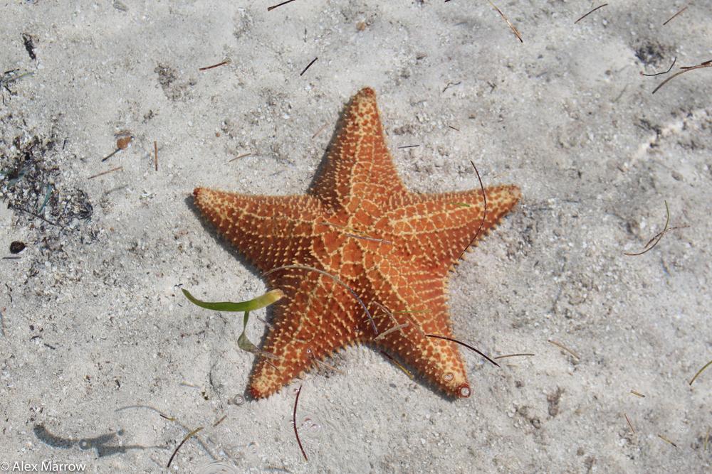 Star Fish, San Blas, Panama