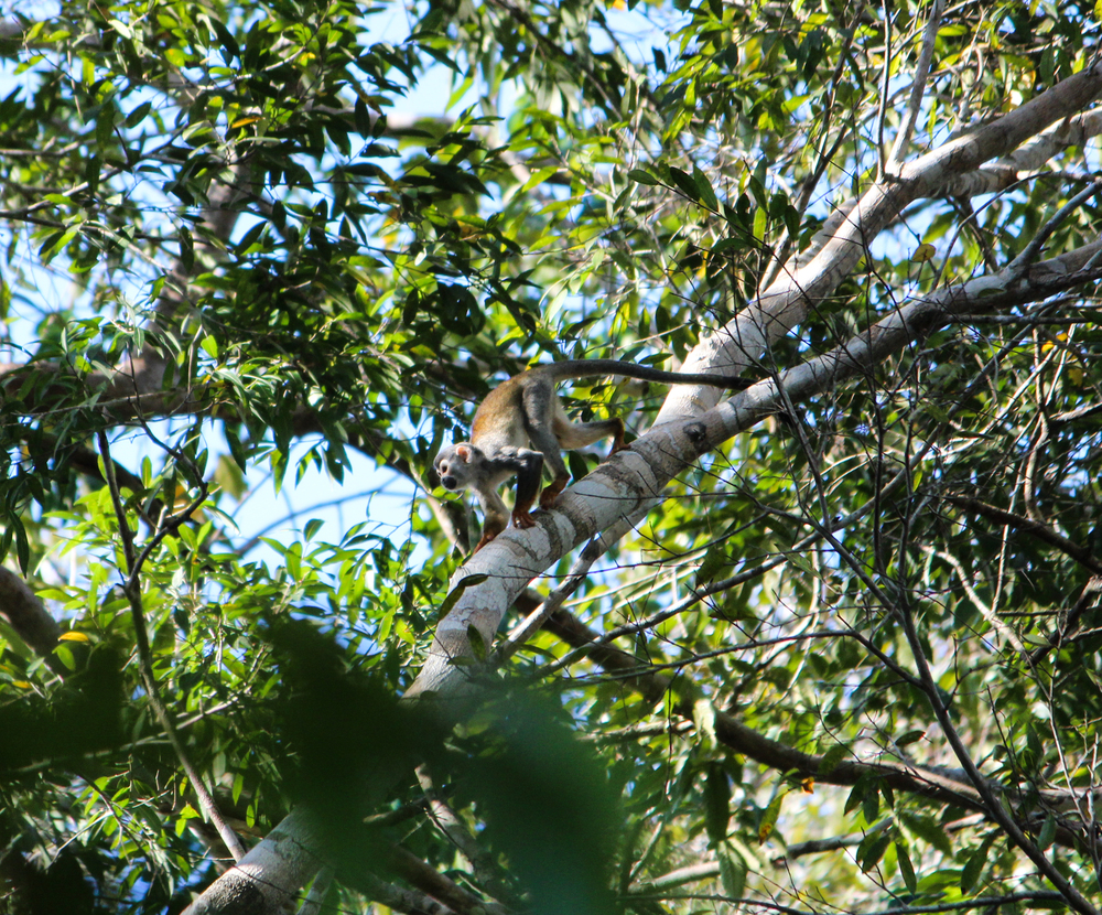 A cheeky monkey scampers along the branches