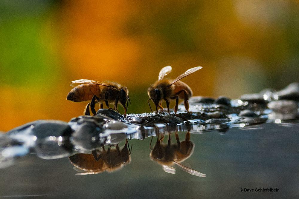 BeesOnBirdbath_0977_horizontal.jpg