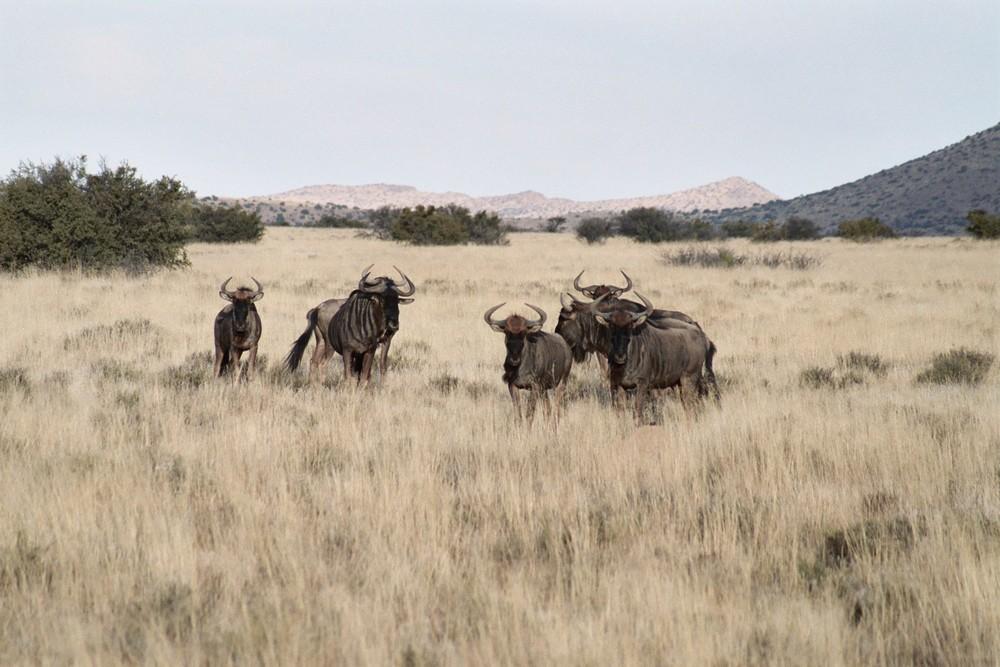 38-blue-wildebeest.jpg