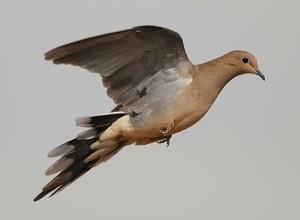 Dove1-40