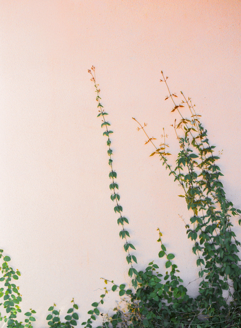 Vines climbing up pink wall