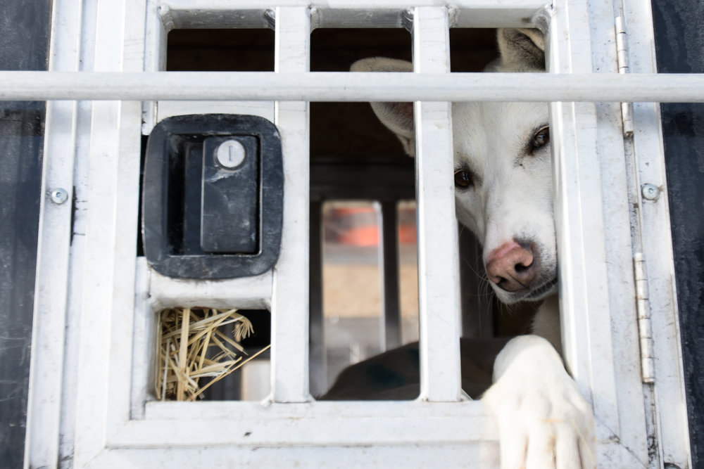 A dog looks through the bars of its kennel before the race.