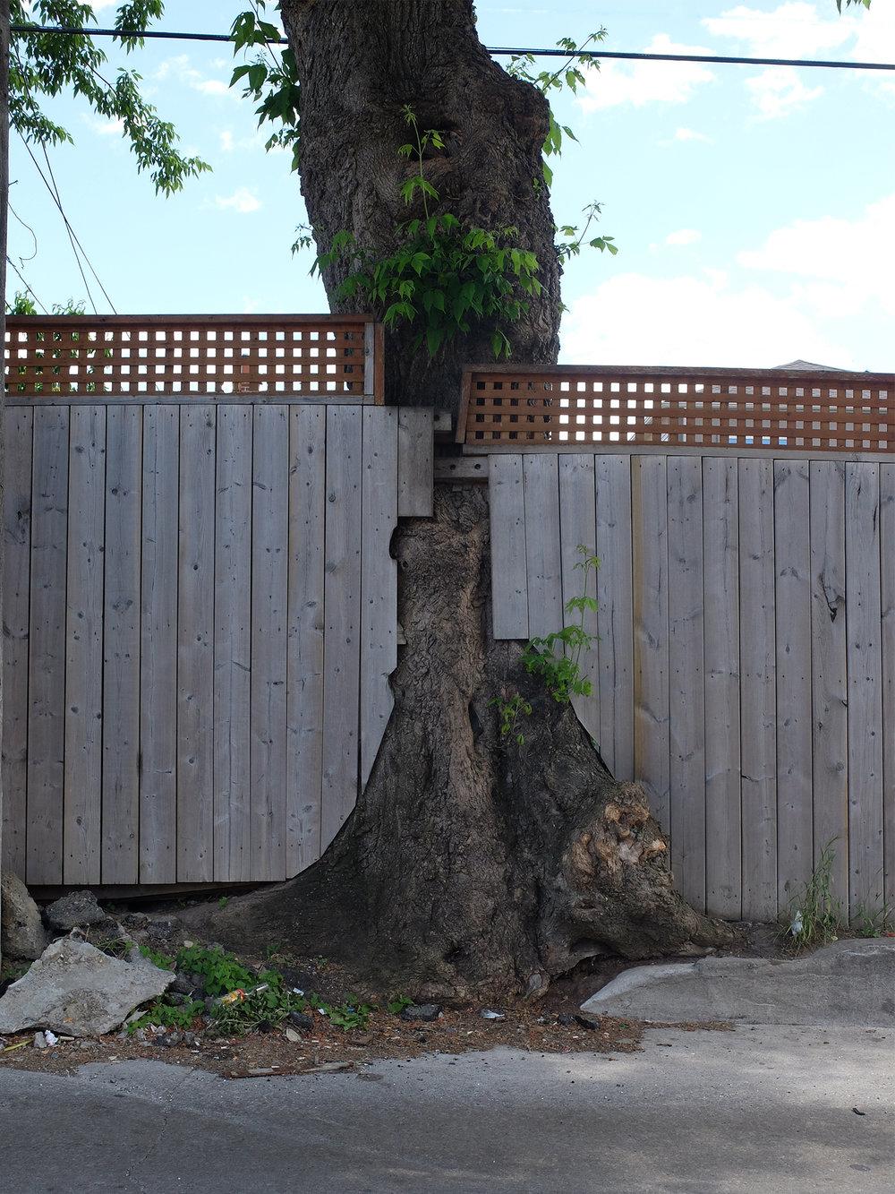 12 - eglinton tree.jpg