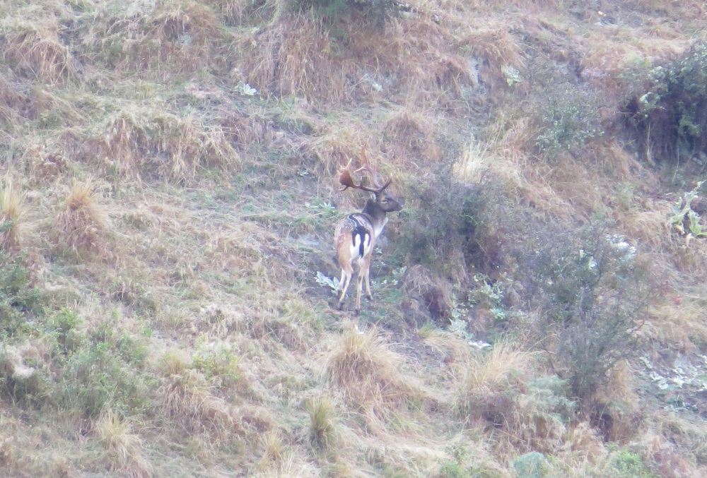 A mature fallow buck caught out in the open - photo Ryan Carr