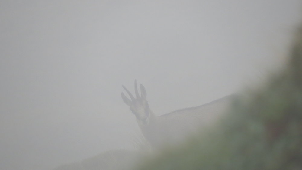A young buck chamois peeking through the fog