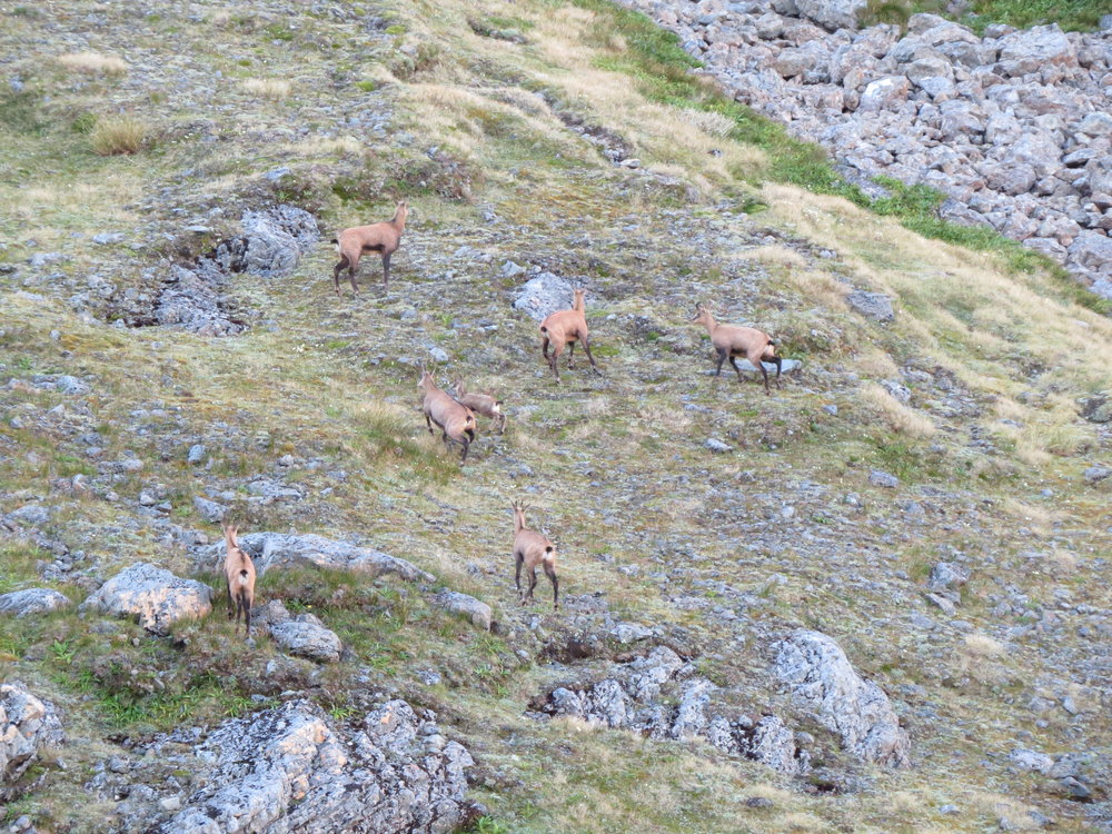 A family group of chamois does and juveniles.