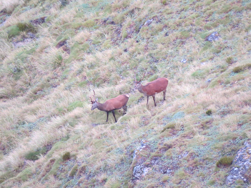 These stags have just stripped their velvet in the previous day or two.