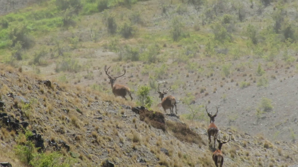 A clip from video footage of a stag mob that spooked due to the swirling gusts of wind, bugger!