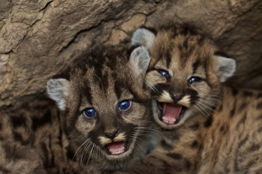 Mountain lion kittens in the Santa Monica Mountains, photo NPS