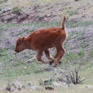 bison calf running.jpg.jpg