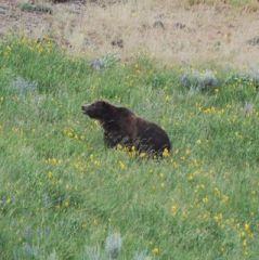 grizzly in meadow on dunraven.jpg.jpg
