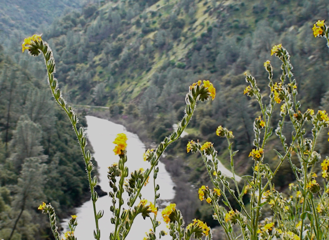 Fiddlenecks and Merced River