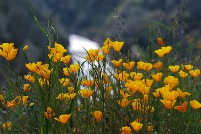Poppies and Merced River