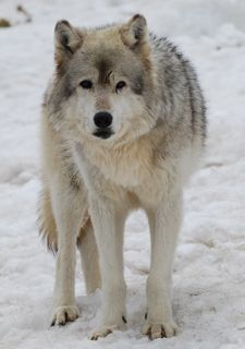 wolf in snow 3.jpg copy.jpg