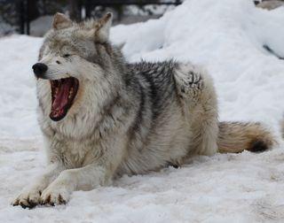 yawning wolf.jpg copy.jpg