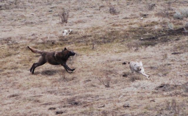 wolf coyote chase 2.jpg.jpg