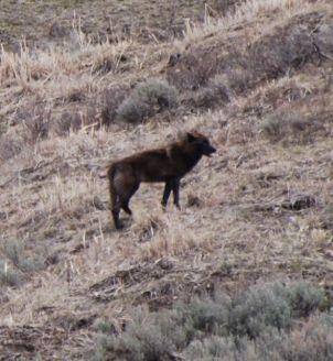 wolf in lamar.jpg.jpg