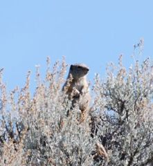 uinta ground squirrel.jpg.jpg